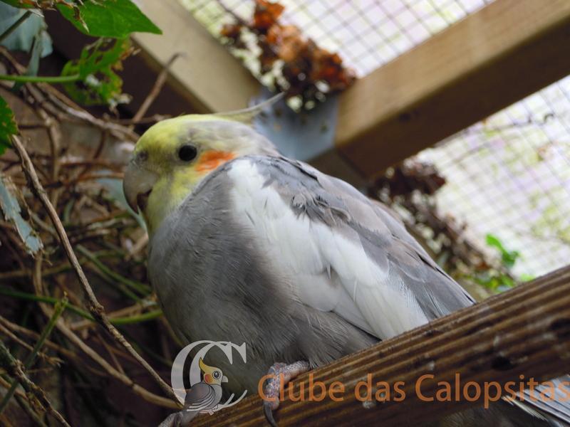 Clube_das_Calopsitas_(33).jpg